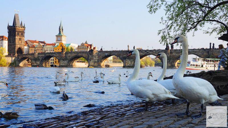 布拉格Prague必去景點-查理大橋最佳明信片視角,還有天鵝陪伴。