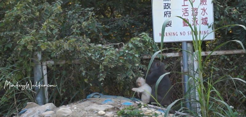 林內神社(公園)發現難得一見白色獼猴