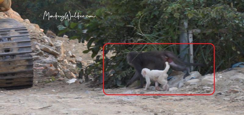林內神社(公園)發現白色小獼猴
